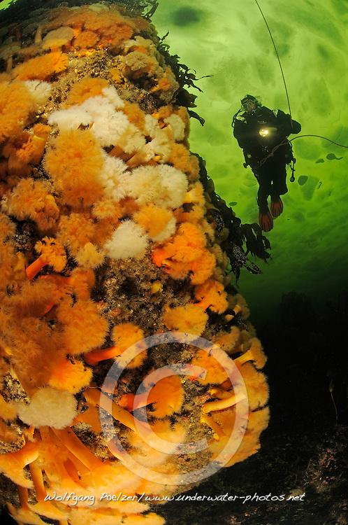 Brown Sea Anemone, Metridium senile, and scuba ice diver under ice, Russia, White Sea, MR