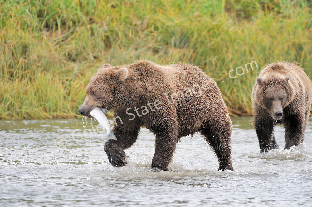 Juvenile brown bear works to keep his catch away from a sibling.    <br /> <br /> Brown Bears and Grizzly Bears are the same species. In general Bears living within 50 miles of the coast are considered browns. Animals living further inland are considered Grizzlies.  <br /> <br /> Grizzlies are omnivores feeding on a variety of plants berries roots and grasses in addition to fish insects and small mammals. Salmon are a key part of their diet. Normally a solitary animal they will congregate along streams and rivers during Salmon runs. Weight to over 1200 pounds.    <br />  <br /> Range: Native to Asia Africa Europe and North America. Now extinct in much of their original range.    <br />   <br /> Species: Ursus arctos