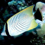 Chevroned Butterflyfish inhabit reefs. Picture taken Fiji.