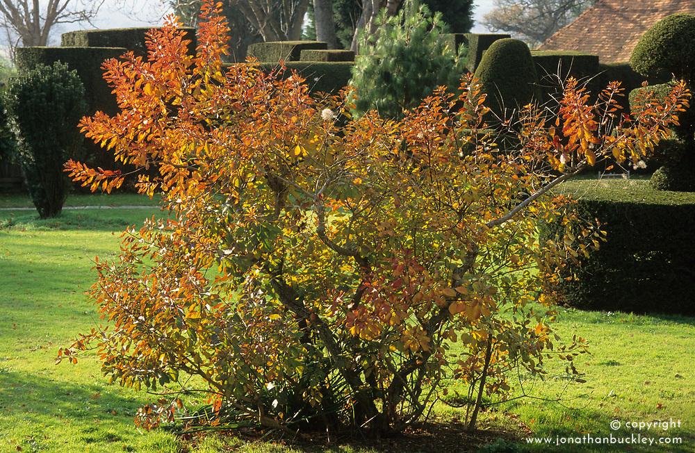 Cotinus coggygria in autumn colour - smoke bush