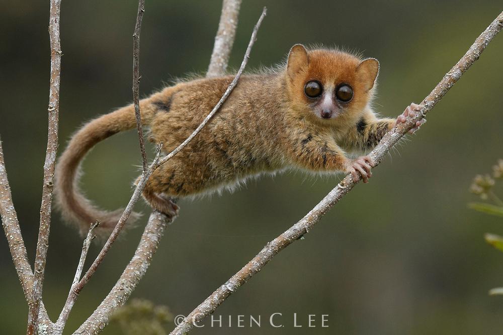 Brown Mouse Lemur (Microcebus rufus). Ranomafana National Park, Madagascar.