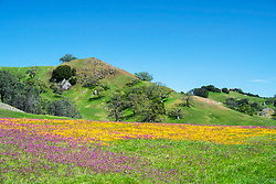 Wildflowers and oak covered green hill of north San Luis Obispo County west of Paso Robles California.