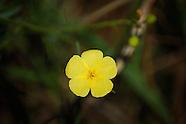 Turneraceae (Stripeseeds)