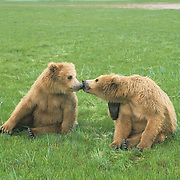 "Alaskan Brown Bear (Ursus middendorffi) cubs sitting together ""kissing"" in Katmai National Park, Alaska."