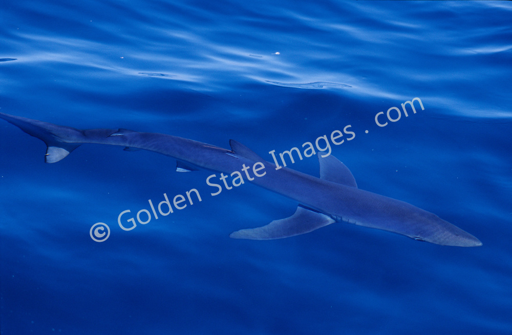 Once a common surface shark species off the coast of southern California its numbers have declined dramatically in the past ten years due to over fishing.    <br /> <br /> Range: Found worldwide. In eastern Pacific from Alaska to Chile    <br /> <br /> Species: Prionace glauca