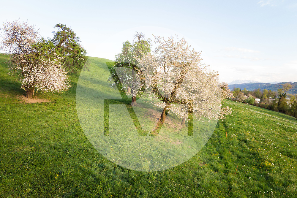 SCHWEIZ - MEISTERSCHWANDEN - Hochstamm-Obstbäume - 23. April 2019 © Raphael Hünerfauth - https://www.huenerfauth.ch