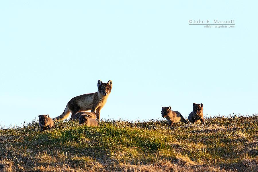 Arctic fox mom with pups, Somerset Island, Nunavut, Canada