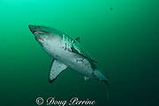 salmon shark, Lamna ditropis, female, Port Fidalgo, Prince William Sound, Alaska, U.S.A.; this apex predator, sometimes called the Pacific porbeagle, is a mackerel shark in the order Lamniformes; it swims in cold water, but is warm-blooded ( homeothermic )
