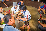 11 JANUARY 2014 - BANGKOK, THAILAND:   Rooster owners gather in a cockfighting pit in Bangkok. Cockfighting dates back over 3,000 years and is still popular in many countries throughout the world today, including Thailand. Cockfighting is legal in Thailand. Unlike some countries, Thai cockfighting does not use artificial spurs to increase injury and does not employ the 'fight to the death rule'. Thai birds live to fight another day and are retired after two years of competing. Cockfighting is enjoyed by over 200,000 people in Thailand each weekend at over 75 licensed venues. Fighting cocks live for about 10 years and only fight for 2nd and 3rd years of their lives. Most have only four fights per year. Most times the winner is based on which rooster stops fighting or tires first rather than which is the most severely injured. Although gambling is illegal in Thailand, many times fight promoters are able to get an exemption to the gambling laws and a lot of money is wagered on the fights.    PHOTO BY JACK KURTZ