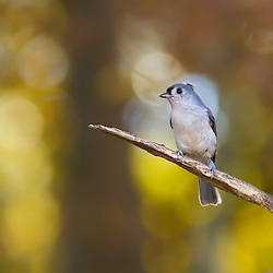 A Tufted Titmouse Perched On A Branch Backed By Autumn Bokeh