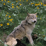 Gray Wolf, (Canis lupus) Adult and pups. Spring. Montana.  Captive Animal.