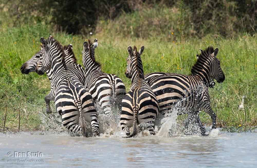 Grant's Zebras, Equus quagga boehmi, run from a pond in Tarangire National Park, Tanzania, after being threatened by a hippo, Hippopotamus amphibius