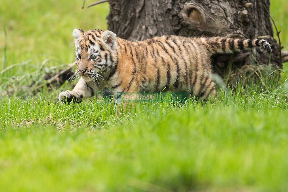 August 12, 2016 - Duisburg, North Rhine-Westphalia, Germany - A tiger cubs moves through the outdoor compound at the zoo in Duisburg, Germany, 12 August 2016. Two cubs were born about six weeks ago and were exploring the outdoor enclosure for the first time. Photo:  Marius Becker/dpa (Credit Image: © Marius Becker/DPA via ZUMA Press)