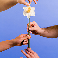 daffodil flower being held up by helping hands.