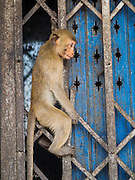 30 NOVEMBER 2014 - LOPBURI, LOPBURI, THAILAND:  A long tailed macaque monkey in the grate of a business after the annual monkey buffet party in Lopburi, Thailand. Lopburi is the capital of Lopburi province and is about 180 kilometers from Bangkok. Lopburi is home to thousands of Long Tailed Macaque monkeys. A regular sized adult is 38 to 55cm long and its tail is typically 40 to 65cm. Male macaques weigh around 5 to 9 kilos, females weigh approximately 3 to 6 kg. The Monkey Buffet was started in the 1980s by a local business man who owned a hotel and wanted to attract visitors to the provincial town. The annual event draws thousands of tourists to the town.   PHOTO BY JACK KURTZ
