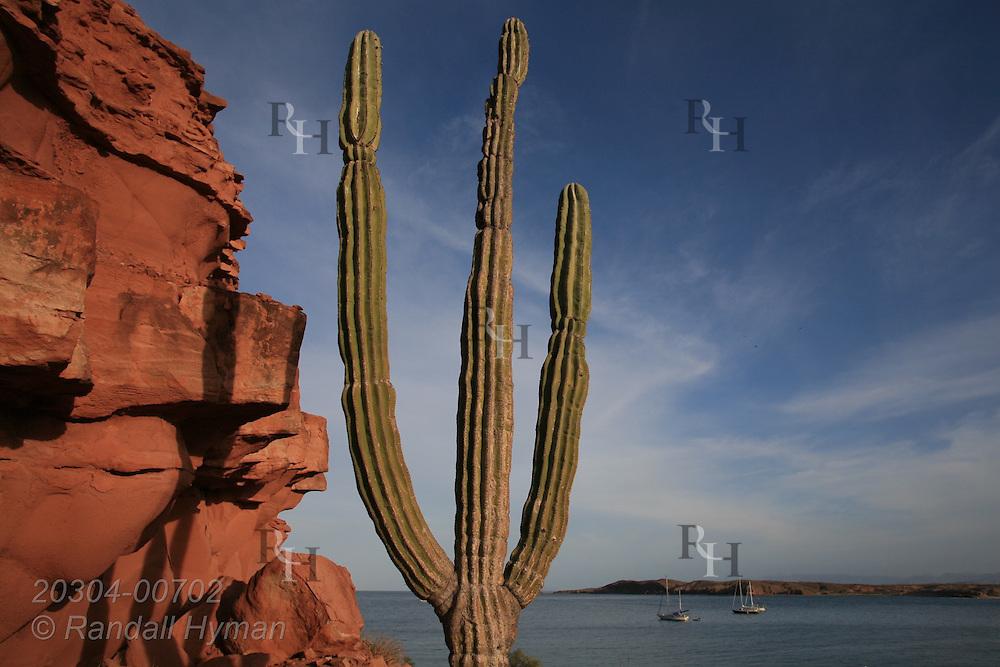 Cardon cactus, tallest cactus species in world, overlooks Sea of Cortez from red sandstone cliffs of Baja Peninsula's Puerto Gato, Mexico.