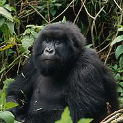Portrait of a female mountain gorilla in Volcanoes National Park. Rwanda, Africa.