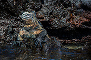 Marine Iguana (Amblyrhynchus cristatus) <br /> Punto Moreno, Isabela Island<br /> Galapagos<br /> Ecuador, South America<br /> ENDEMIC TO THE ISLANDS
