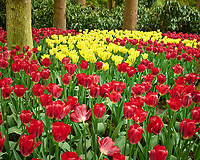 Red and yellow tulips. Tulip festival at Keukenhof Gardens in Lisse, Netherlands. Image taken with a Leica X2 camera.