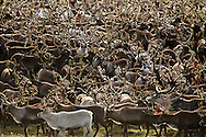 Reindeer flock, Rangifer Tarandus, Chukotka, Siberia, Russia, Arctic