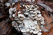 Polypore mushrooms (probably Trichaptum biforme) growing on a birch log, Northeast Harbor, Maine