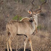 Kudu. Between Sabie River Camp and Skukuza Camp. Kruger National Park, South Africa.