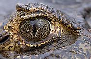 Yacare Caiman (Caiman yacare), Pantanal, Brazil.
