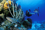 Spot, a wild, lone, sociable bottlenose dolphin, Tursiops truncatus, swims with his friend Jason, and discovers a nurse shark, Ginglymostoma cirratum, resting on the coral reef, Cayman Brac, Cayman Islands ( Caribbean Sea ) MR 281