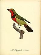 Pie-grièche Perrin. from the Book Histoire naturelle des oiseaux d'Afrique [Natural History of birds of Africa] Volume 6, by Le Vaillant, Francois, 1753-1824; Publish in Paris by Chez J.J. Fuchs, libraire 1808