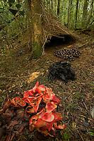 Bower of the Vogelkopf Bowerbird (Amblyornis inornatus) decorated with piles of acorns, black fungi, and pandanus flowers.