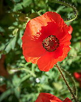 Red Poppy flower. Image taken with a Leica SL2 camera and  and 24-90 mm lens.