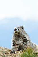 Marmot on Hurricane Ridge, Olympic National Park, WA.