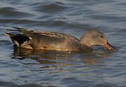 Male Gadwall (Anas strepera)) in breeding plumage feeding. Titchwell Marsh, Titchwell, Norfolk. UK. 09May14
