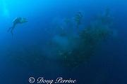 Howard Hall films spawning of dog snappers, Lutjanus jocu, <br /> Gladden Spit & Silk Cayes Marine Reserve, off Placencia, <br /> Belize, Central America ( Caribbean )