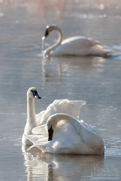 Three trumpeter swans (Cygnus buccinator) rest and preen on a pond in the National Elk Refuge, Jackson Hole, Wyoming.