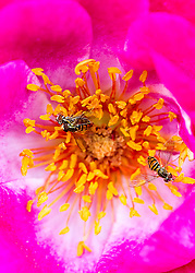Several Bees Busy On A Rose