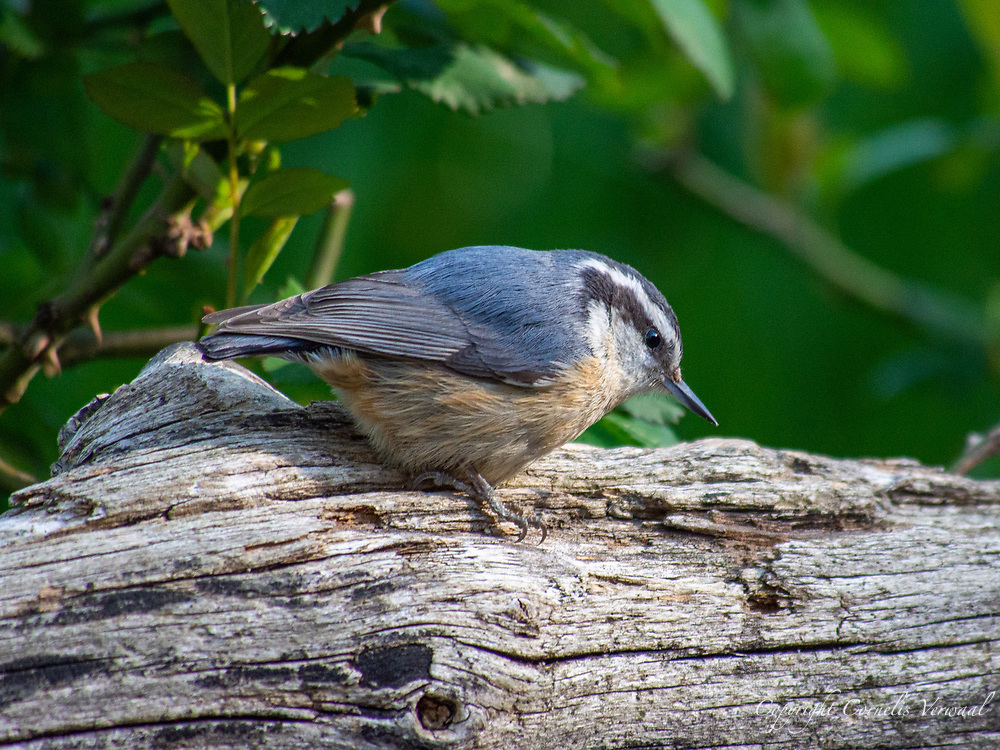 A red-breasted nuthatch (Sitta canadensis) at Shakespeare Garden in Central Park, April 23, 2021.