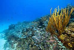 Schooling Gray Snappers, Lutjanus griseus, West End, Grand Bahamas, Caribbean, Atlantic Ocean