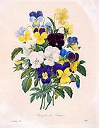 19th-century hand painted Engraving illustration of a Bouquet of Pansies by Pierre-Joseph Redoute. Published in Choix Des Plus Belles Fleurs, Paris (1827). by Redouté, Pierre Joseph, 1759-1840.; Chapuis, Jean Baptiste.; Ernest Panckoucke.; Langois, Dr.; Bessin, R.; Victor, fl. ca. 1820-1850.