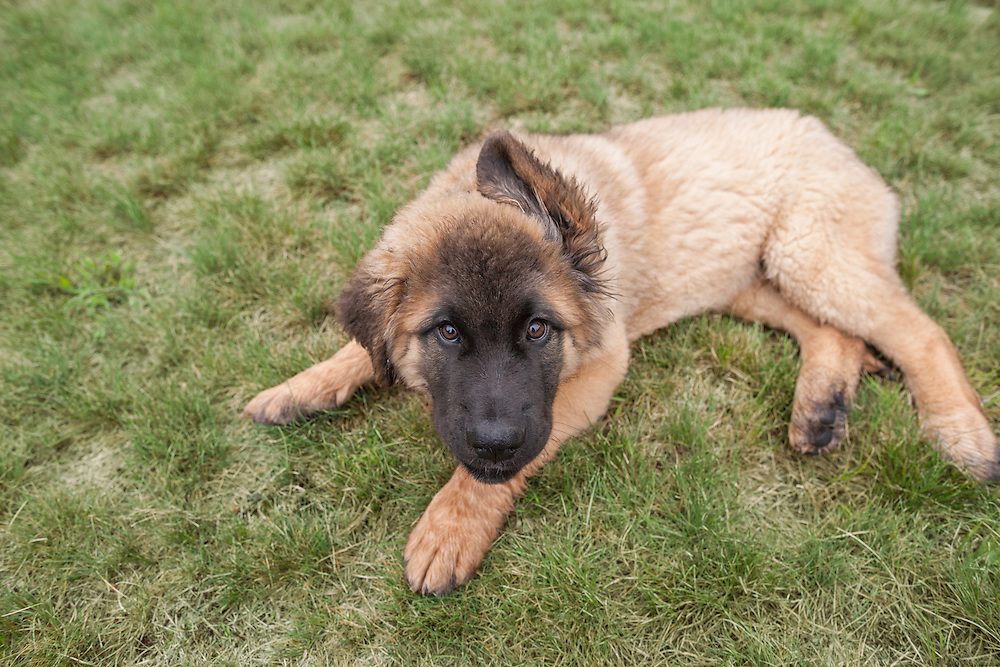 Leonberger puppy laying in the grass lookin gat the camera