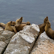 Seals bask on rocks in the water off the Monterey, California coast.