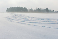 Tracks of a herd of European bison (Bison bonasus) in the agricultural field, Bialowieza, Poland