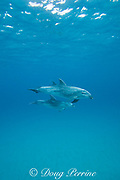 bottlenose dolphins, Tursiops truncatus, Bay of Islands, North Island, New Zealand ( South Pacific Ocean )