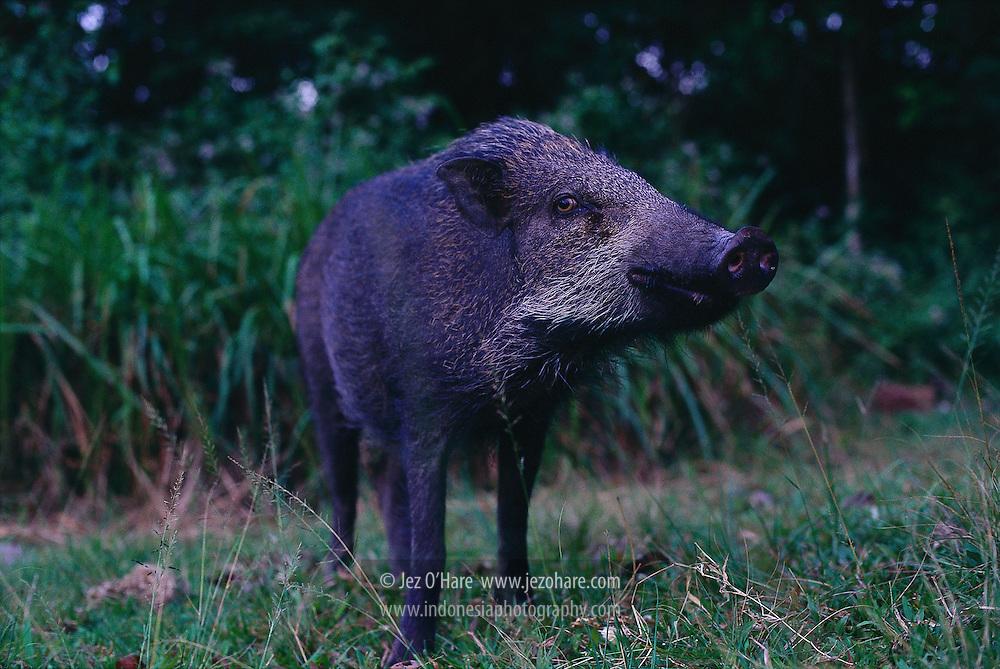 Wild Boar, Indonesia.