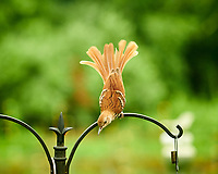 Brown Thrasher. Image taken with a Nikon D850 camera and 200 mm f/2 lens
