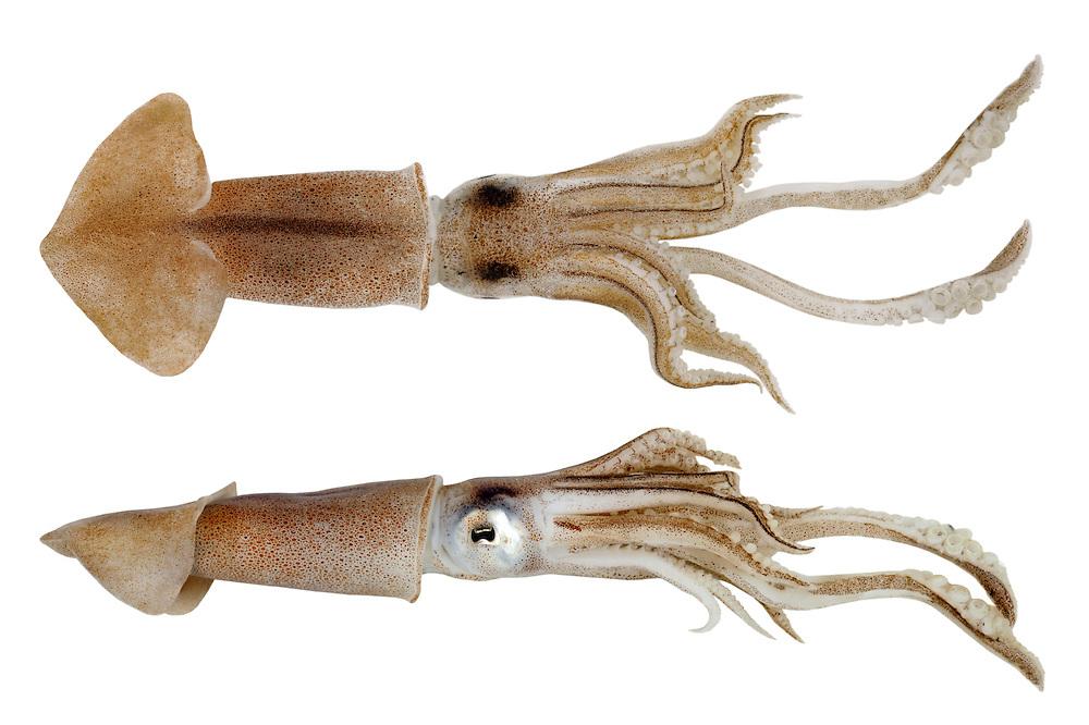 Common Squid - Loligo vulgaris