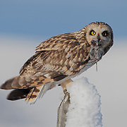 Short-eared owl (Asio flammeus) sitting on a fence post with a vole in its beak. Ninepipe National Wildlife Refuge, Montana