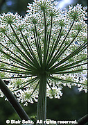 Giant Hogweed, heracleum mantegazzianum, Chanticleer, Philadelphia gardens and arboretums, Wayne, PA