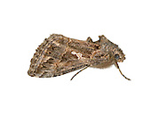 73.003 (2432)<br /> Ni Moth - Trichoplusia ni
