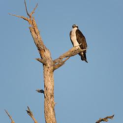 An osprey, Pandion haliaetus, in a tree next to the Osprey Trail in Honeymoon Island State Park in Dunedin, Florida.